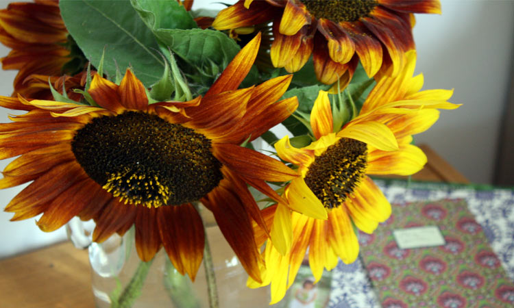 sonnenblumen vorziehen sonnenblumen noch auss en anbau s. Black Bedroom Furniture Sets. Home Design Ideas