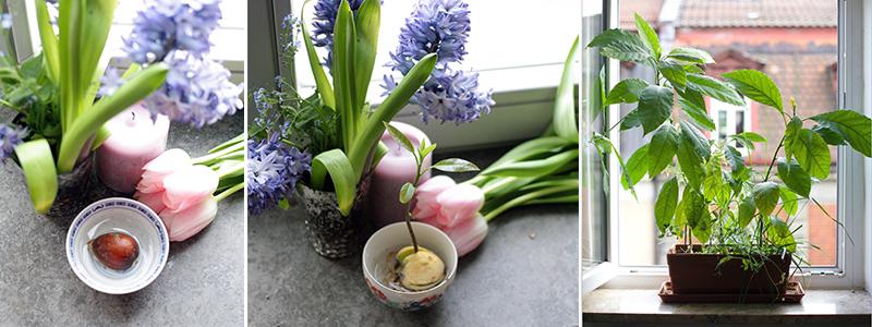wie aus einem avocadokern eine pflanze wird. Black Bedroom Furniture Sets. Home Design Ideas