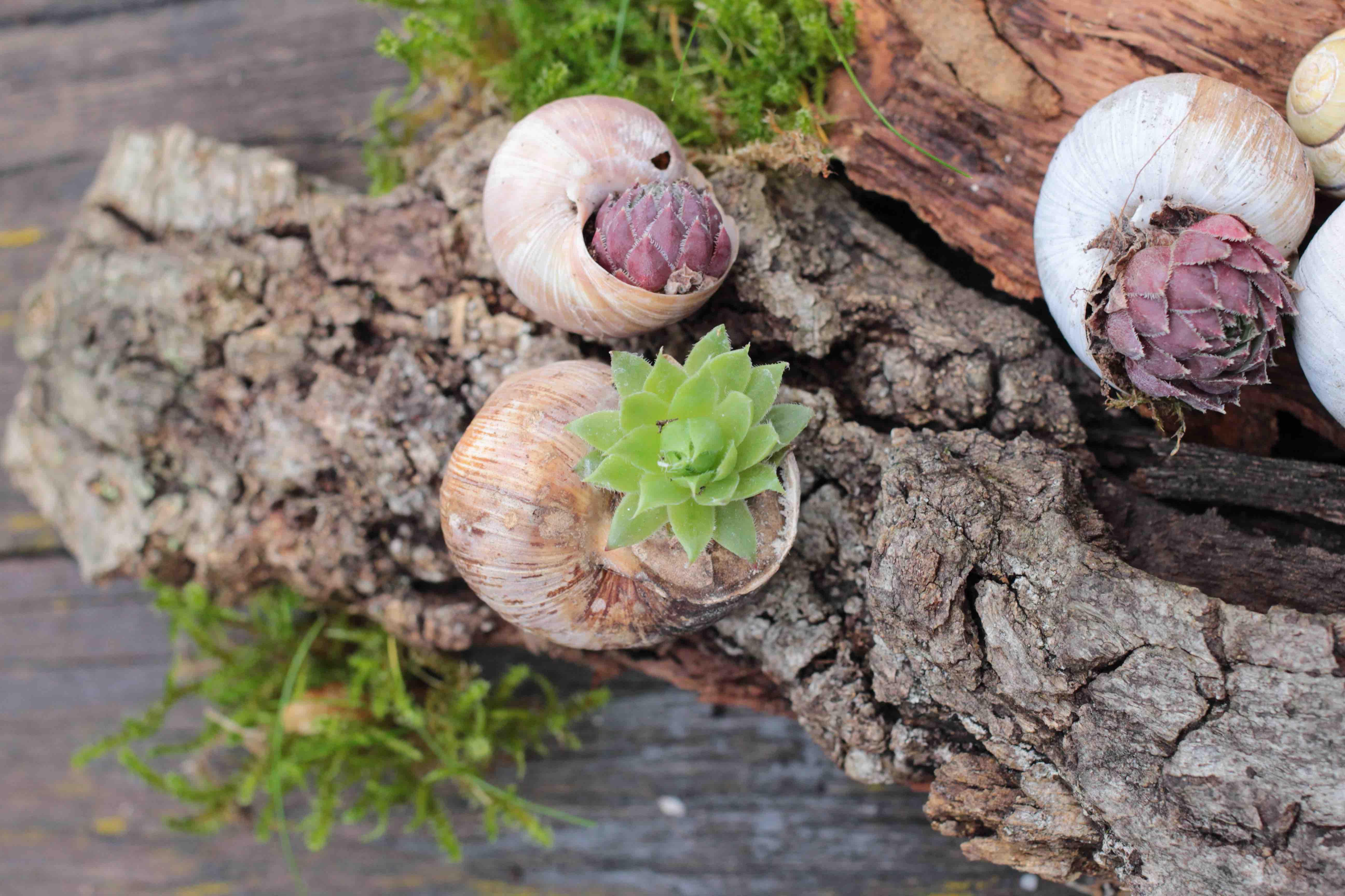Hauswurz DIY im Schneckenhaus - Garten Fräulein - Der Garten Blog