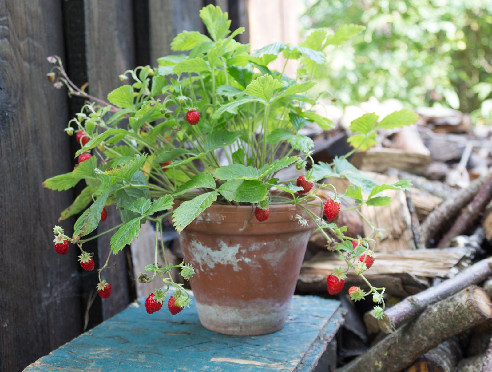 Super Alles über Erdbeeren: Egal ob Balkon oder Garten @NP_26