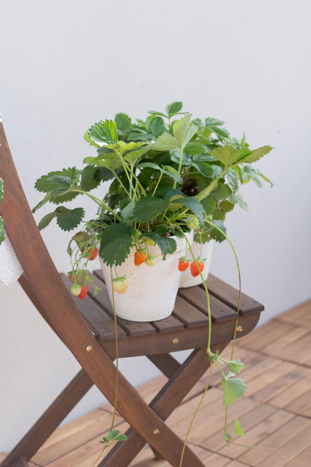Geliebte Alles über Erdbeeren: Egal ob Balkon oder Garten &DX_88