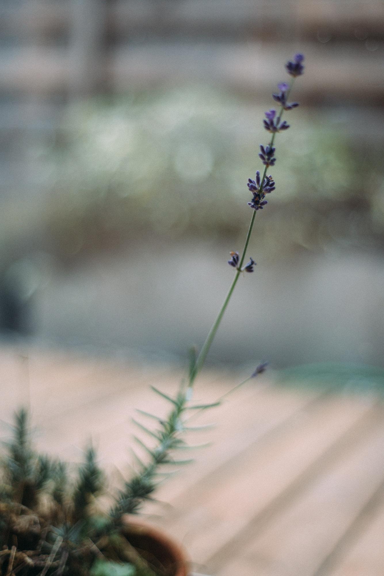 Lavendelplätzchen