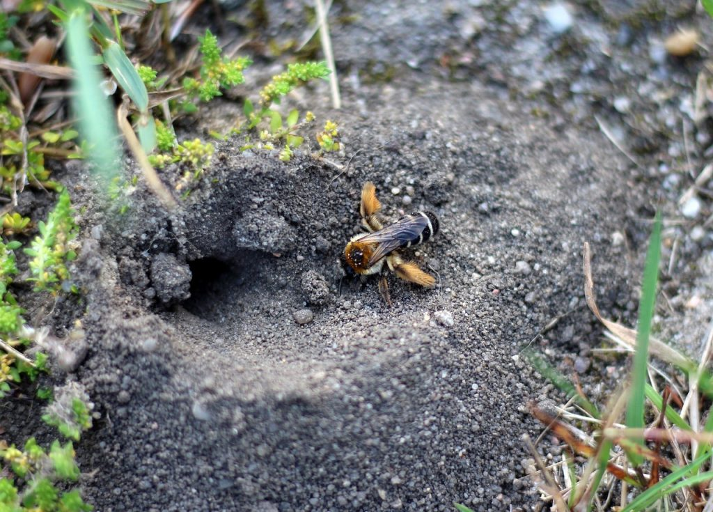wildbiene-ansiedeln