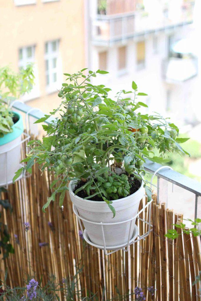 Fragestunde Zu Tomaten Garten Fraulein Der Garten Blog
