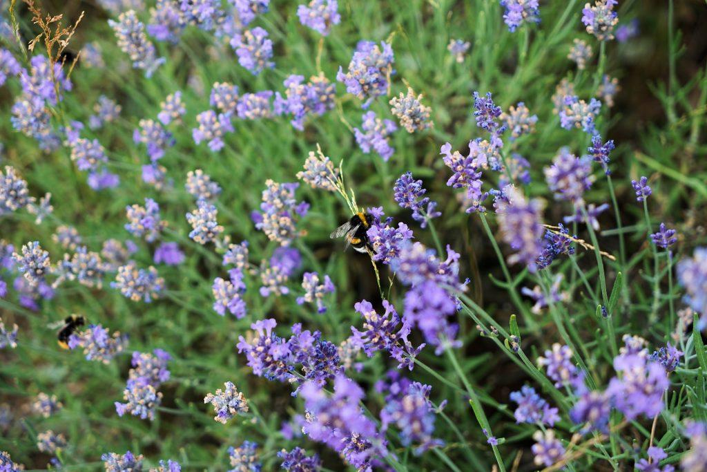 Lavendel scheiden